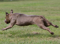 Lure Coursing at 8yrs of age